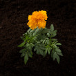 Flower in soil as background-top view — Stock Photo