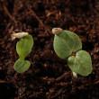 Two plants seedling with the seed on the leaf — Stock Photo