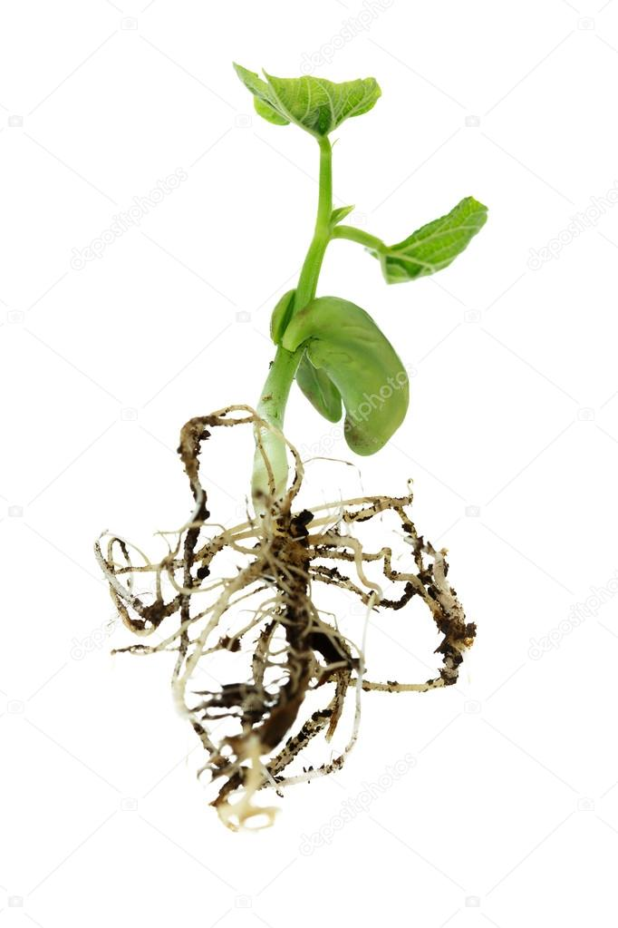 Bean germinated plant, bottom view, all in focus, except for first roots and leaf on the background -  isolated on white — Stock Photo #16324135