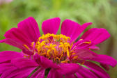 Purple flower on a green background — Stock Photo
