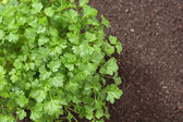 Top view of parsley in soil — Stock Photo
