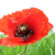 One new poppy with background grass isolated on white — Stock Photo