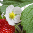 Macro of a strawberry bush plant — Stock Photo