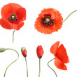 Stages of growing poppies isolated on white — Stock Photo