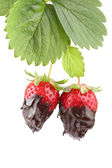 Plant with two organic strawberries covered with molten chocolate — Stock Photo