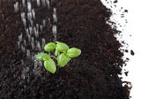 Basil sprout in soil being sprinkle — Stock Photo