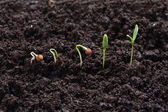 Cilandro plant germination — Stock Photo
