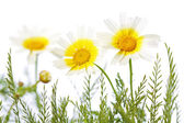 Daisies in gras — Stock Photo