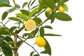 Lemon tree — Stock Photo
