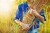 Hay in farmer's hands — Stock Photo