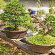 Bonsai tree nursery — Stock Photo