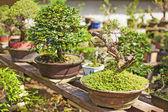 Bonsai tree nursery — Stock Photo