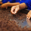 Workers choosing the beans — Stock Photo #50783587