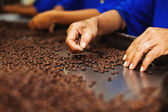 Workers choosing the beans — Stock Photo