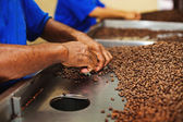 Workers choosing the beans — Foto Stock