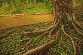 Roots of giant banyan tree — Stock Photo