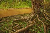 Roots of giant banyan tree — Foto de Stock