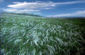 Feather grass — Stock Photo
