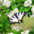 Stock Photo: Butterfly on flowers of hawthorn