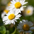 Daisies or Bellis perennis (Bellis perennis, common daisy) — Stock Photo