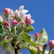Stock Photo: Apple blossoms in spring against blue sky
