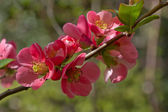 Colorful spring flowers of Japanese Quince (Chaenomeles japonica) — Stock Photo