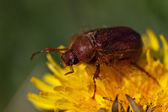 May bug beetle (Cockchafer, Melolontha) — Stock Photo