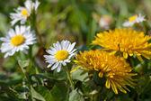 Jarní květiny, pampeliška a daisy — Stock fotografie