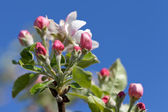 Apple blossoms in spring against the blue sky — Stock Photo