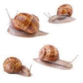 Garden snail collection on white background — Stock Photo