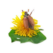 Cockchafer (melolontha) or may bug on white — Stock Photo