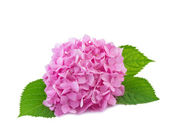 Hydrangea flowers isolated on white — Stock Photo