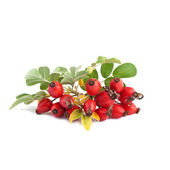 Ripe rose hip or Rosa canina — Stock Photo