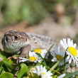 Sand lizard in close up (Lacerta Agilis) — Stock Photo