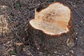 カット木の幹 — ストック写真