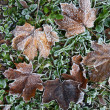 Stock Photo: Autumn leaves with rime