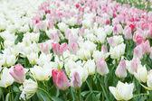 オランダ キューケンホフ庭園で白とピンクのチューリップ — ストック写真