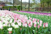 Keukenhof Flower Garden, Lisse, Netherlands — Stock Photo