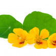 Nasturtium Flower — Stock Photo #49447759