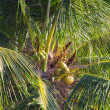 Постер, плакат: Palm top with coconuts