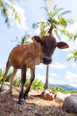 Young bull between coconuts — Stockfoto