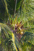 Palm top with coconuts — Stock Photo