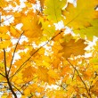Golden leafs enjoy autumn — Stock Photo