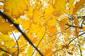 Golden leafs enjoy autumn — Stock Photo