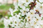 Cherry flowers on the branch — ストック写真