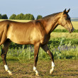Buckskin horse walks on a green field - Stock Photo