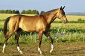 Buckskin horse walks on a green field — Стоковое фото