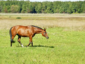 Horse walks on a field — Stock Photo
