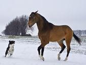 Buckskin Akhal-Teke stallion — Stock Photo