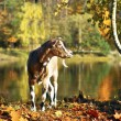 Goat in the autumn forest - Stock Photo